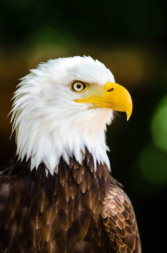 close-up-photography-of-bald-eagle-145962